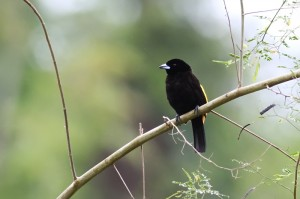 flame-rumped